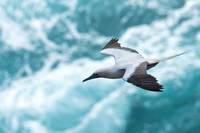 Red-footed Boobie (2)