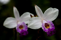 Bamboo Orchids