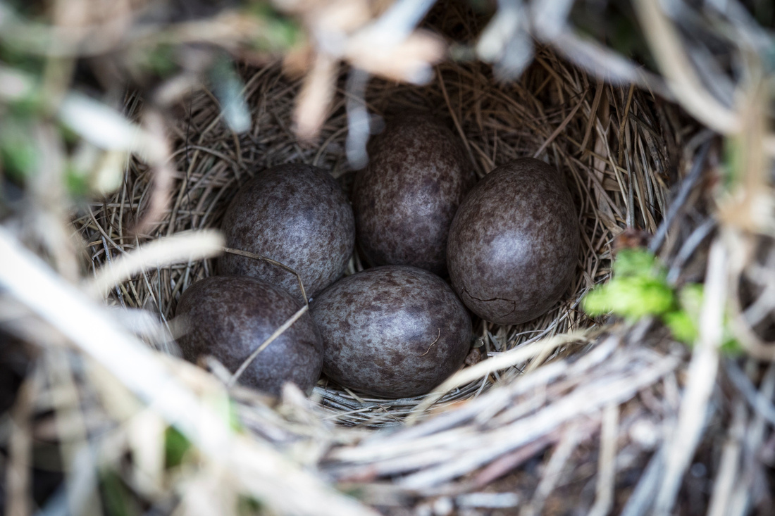 American Pipit Ground Nest