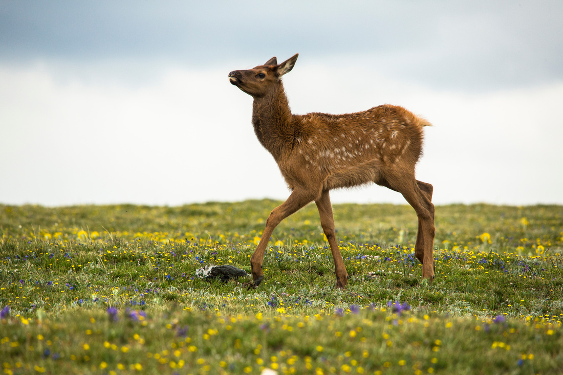 Elk Calf in the Alpine