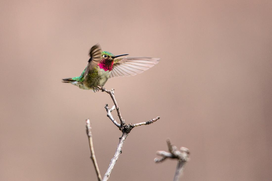 Broad-tailed Hummingbird - Selasphorus platycercus