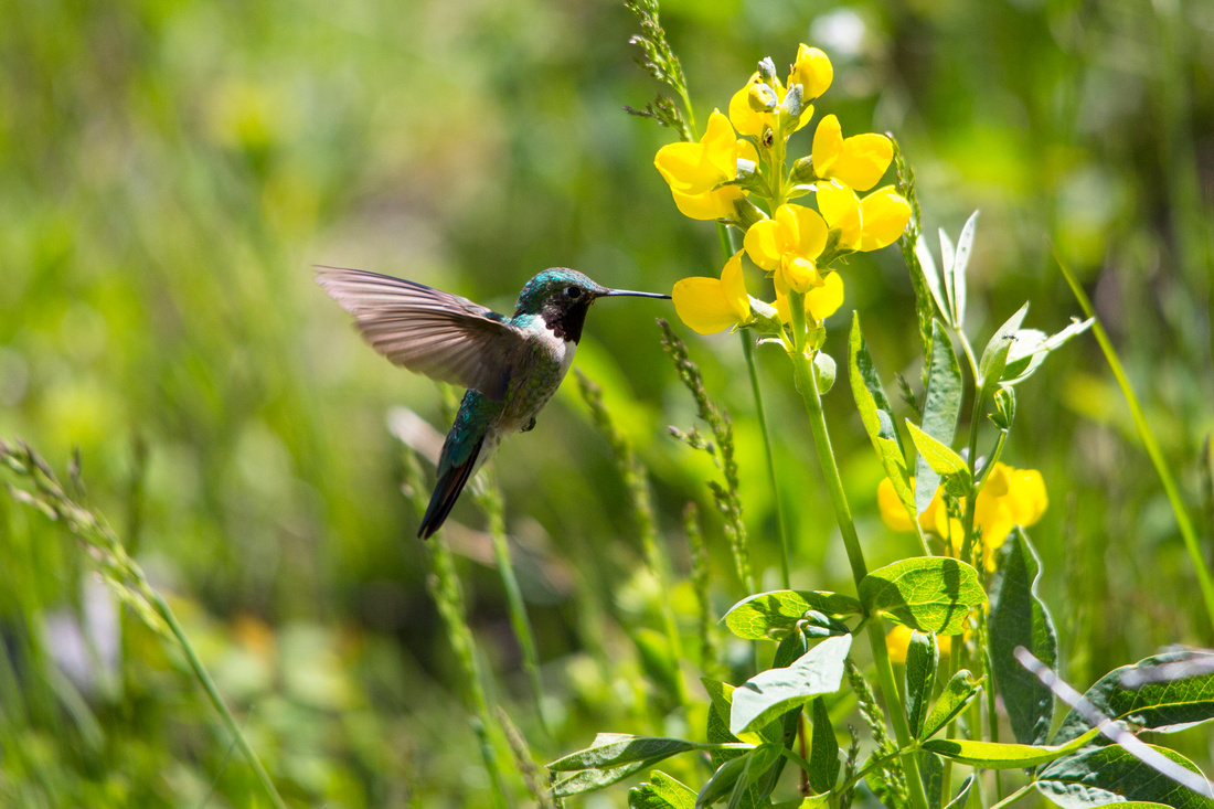 Broad-tailed Hummingbird Feeding on Golden Banner