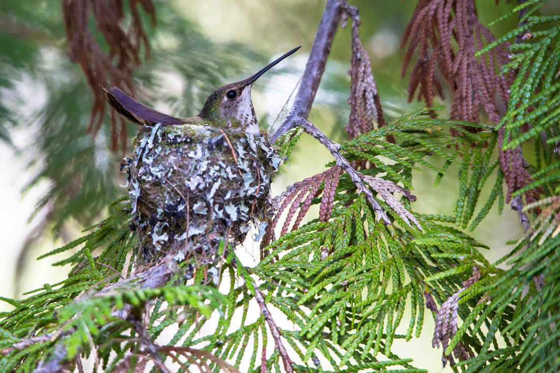 Rufous Hummingbird Female on Nest (2)