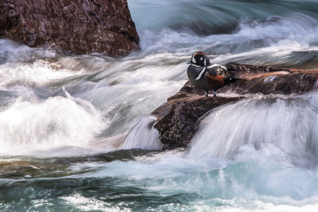 Harlequin Duck (Long exposure)