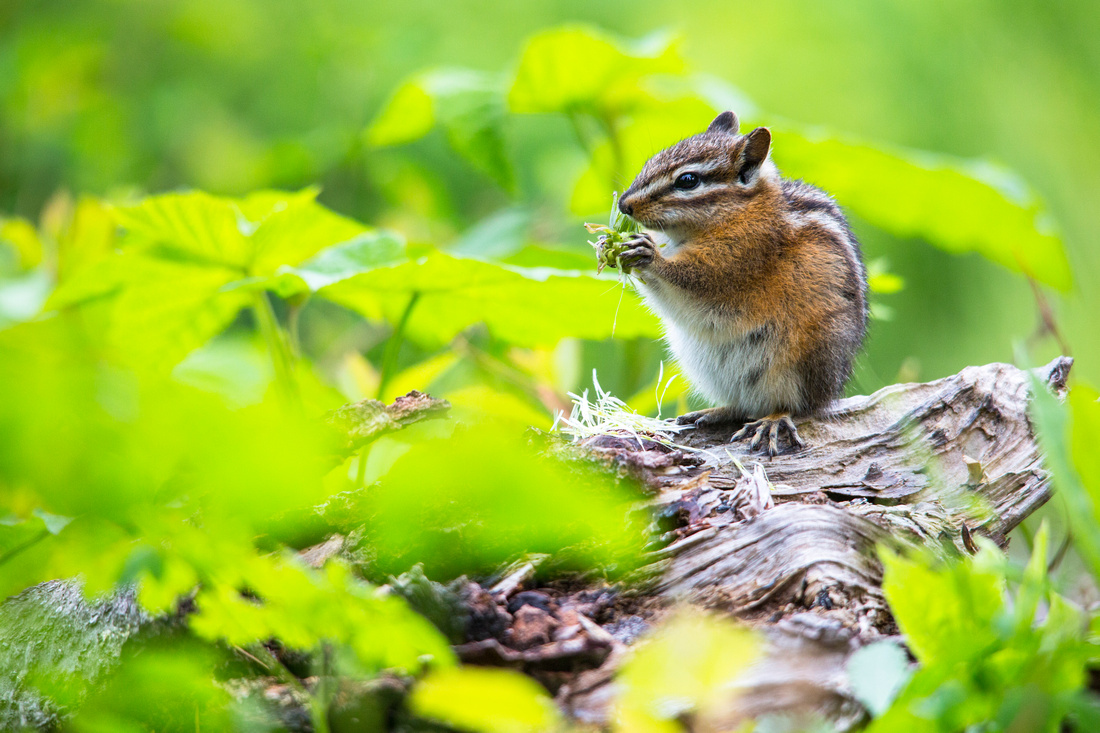 Chipmunk eating Flowerhead