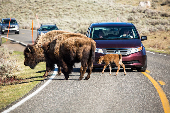 Bison and Red Dog in the Road (2)