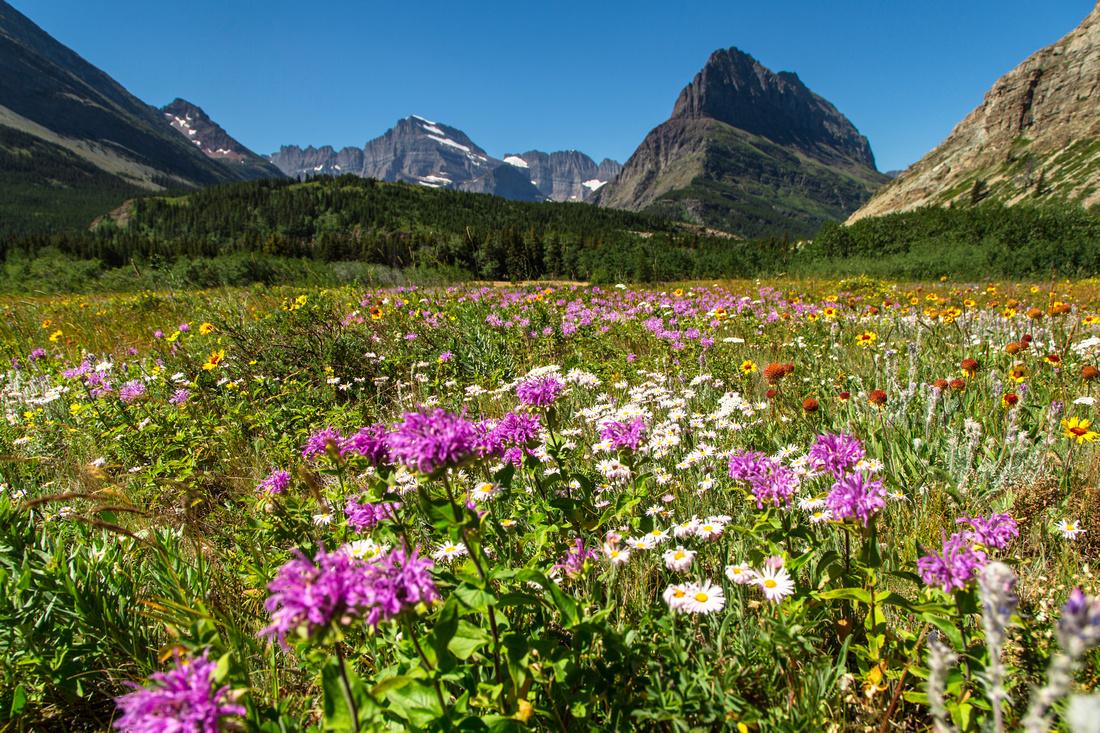 Wildflowers in Many Glacier 7.21.16