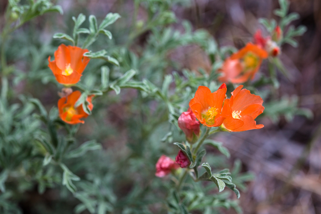 Scarlet Globemallow - Sphaeralcea coccinea