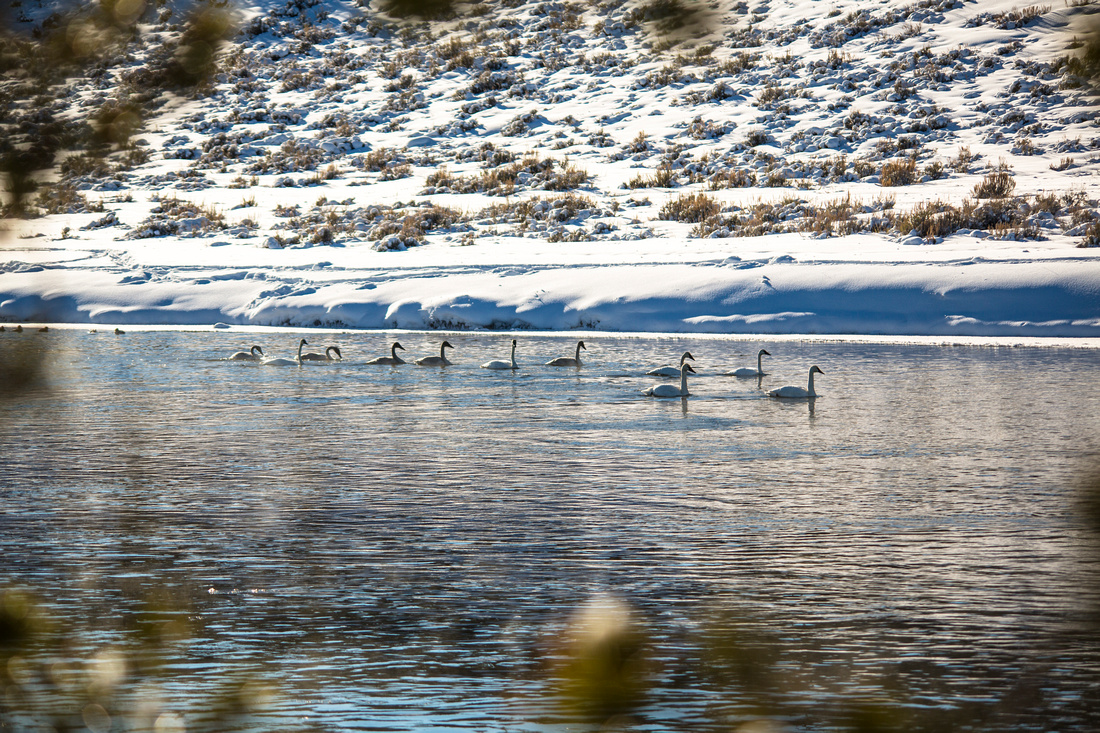 Trumpeter Swans on the Madison