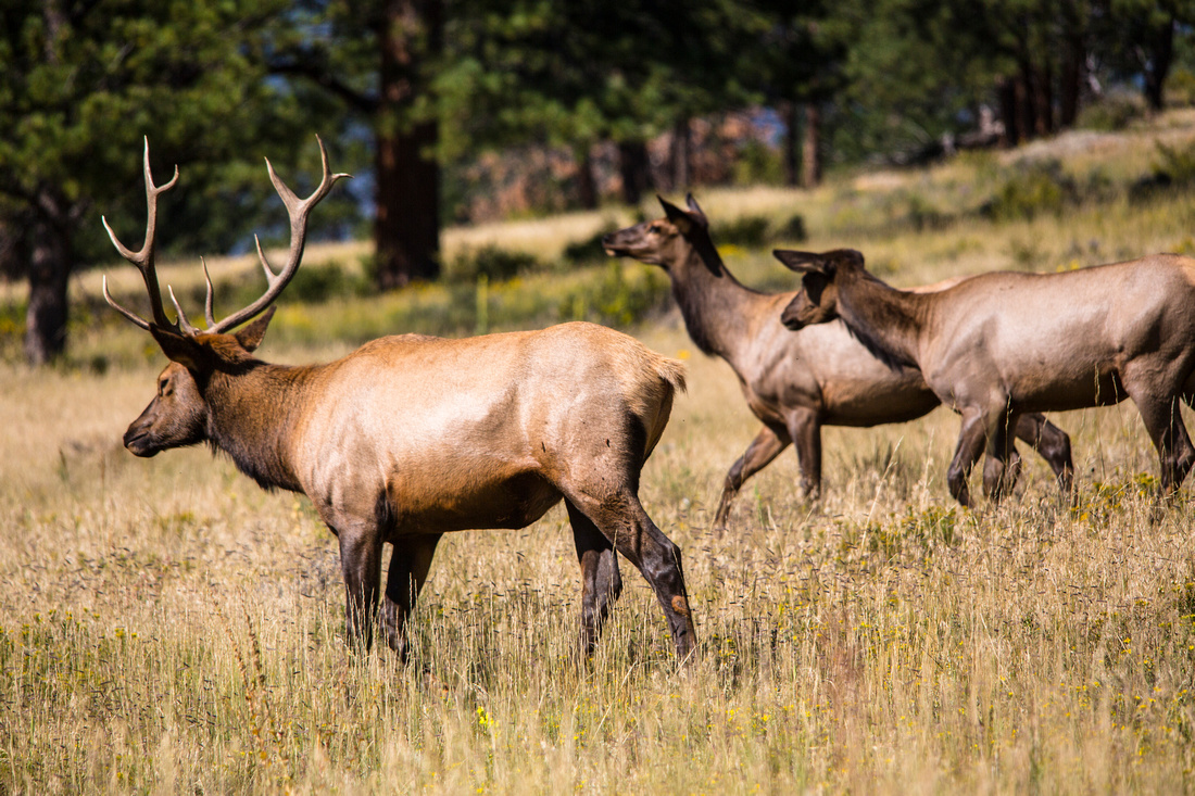 Bull Elk and Harem