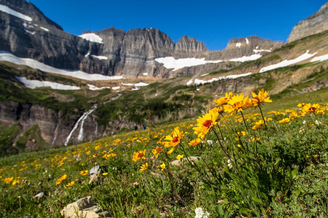 Grinnel Glacier Trail Flowers