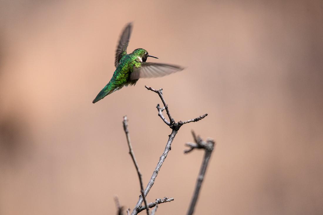 Broad-tailed Hummingbird (4) - Selasphorus platycercus