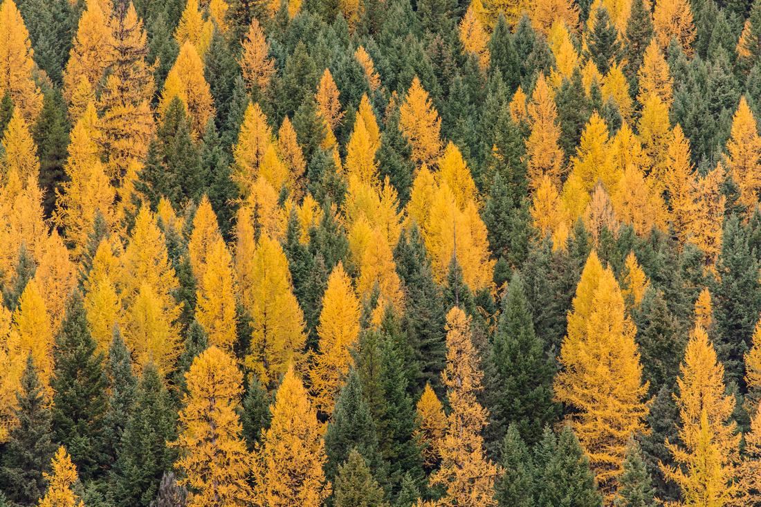 Larch Trees at Bowman