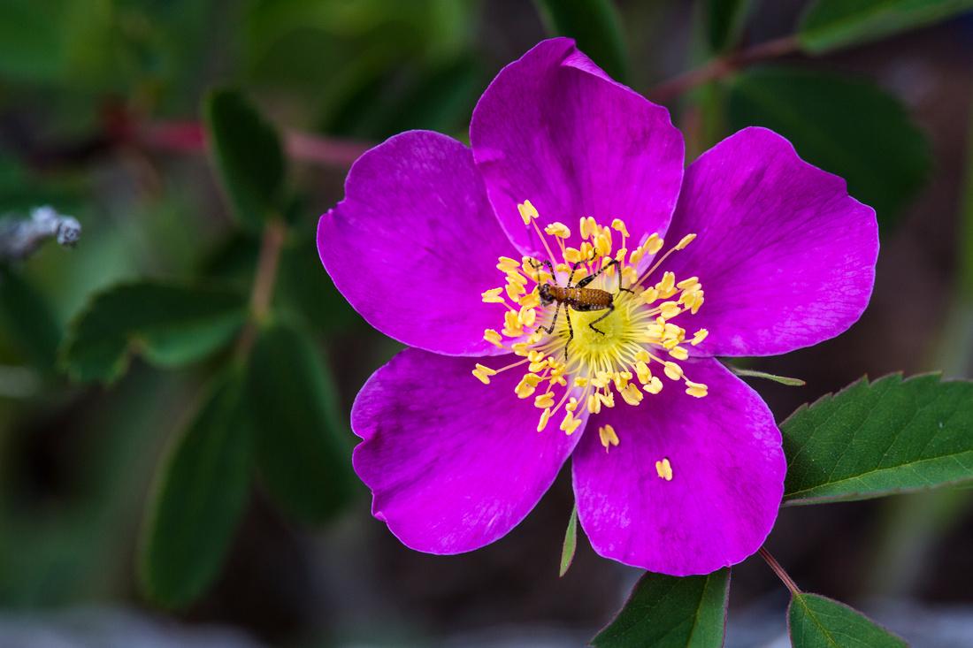 Wood's Rose - Rosa woodsii