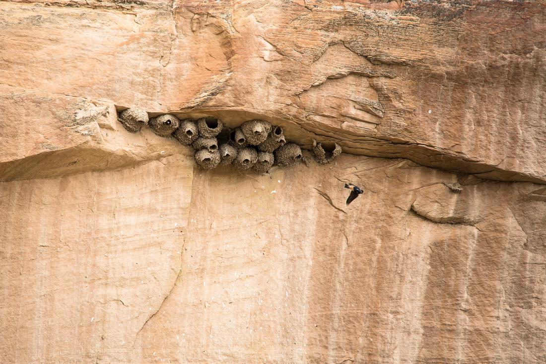 Cliff Swallow Nests - Petrochelidon pyrrhonota
