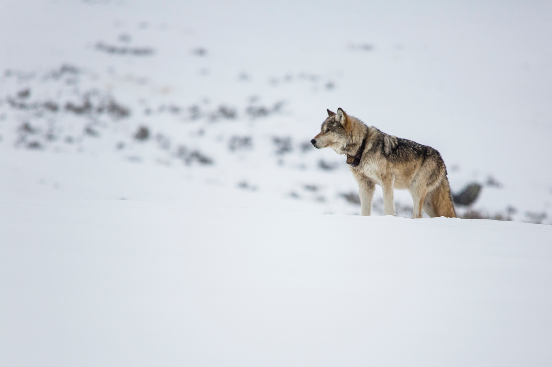 Lone Wolf (2)
