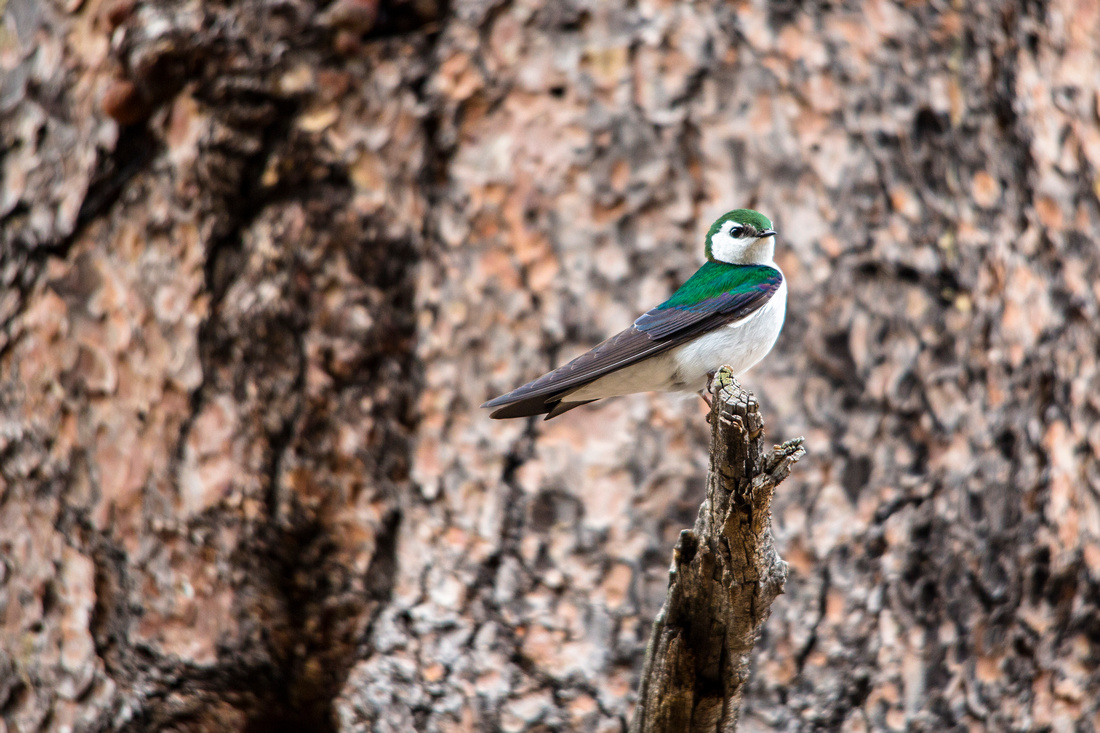 Violet Green Swallow - Tachycineta thalassina