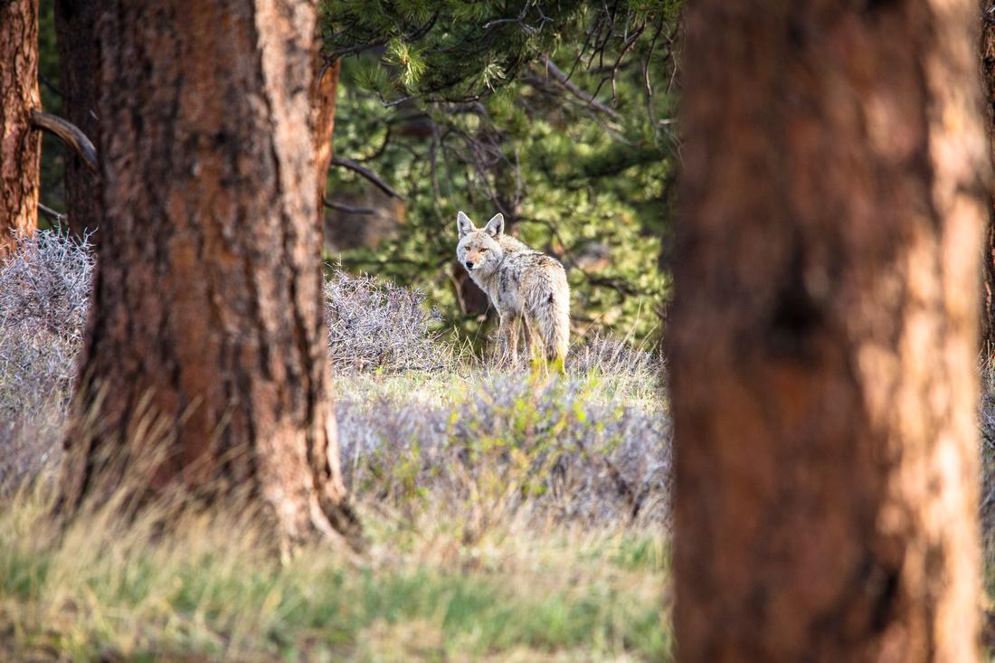 Backyard Coyote