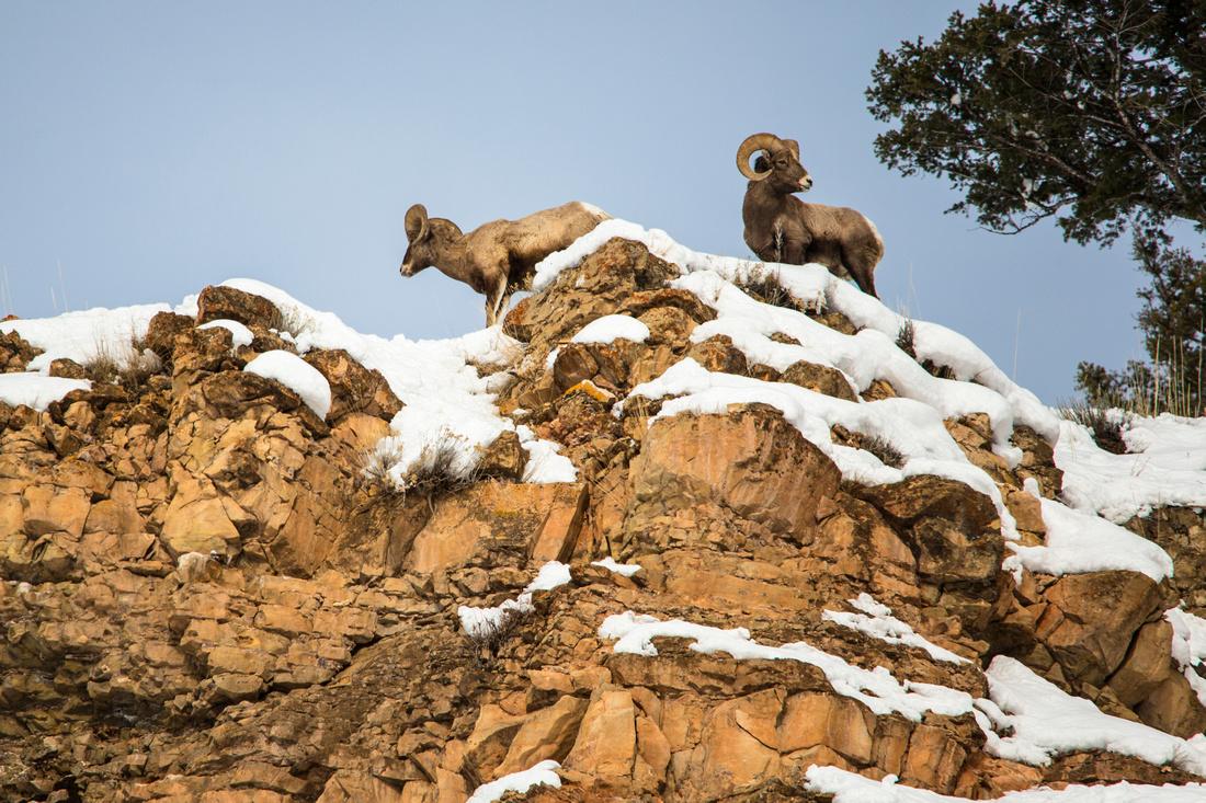Rams on the Ridge