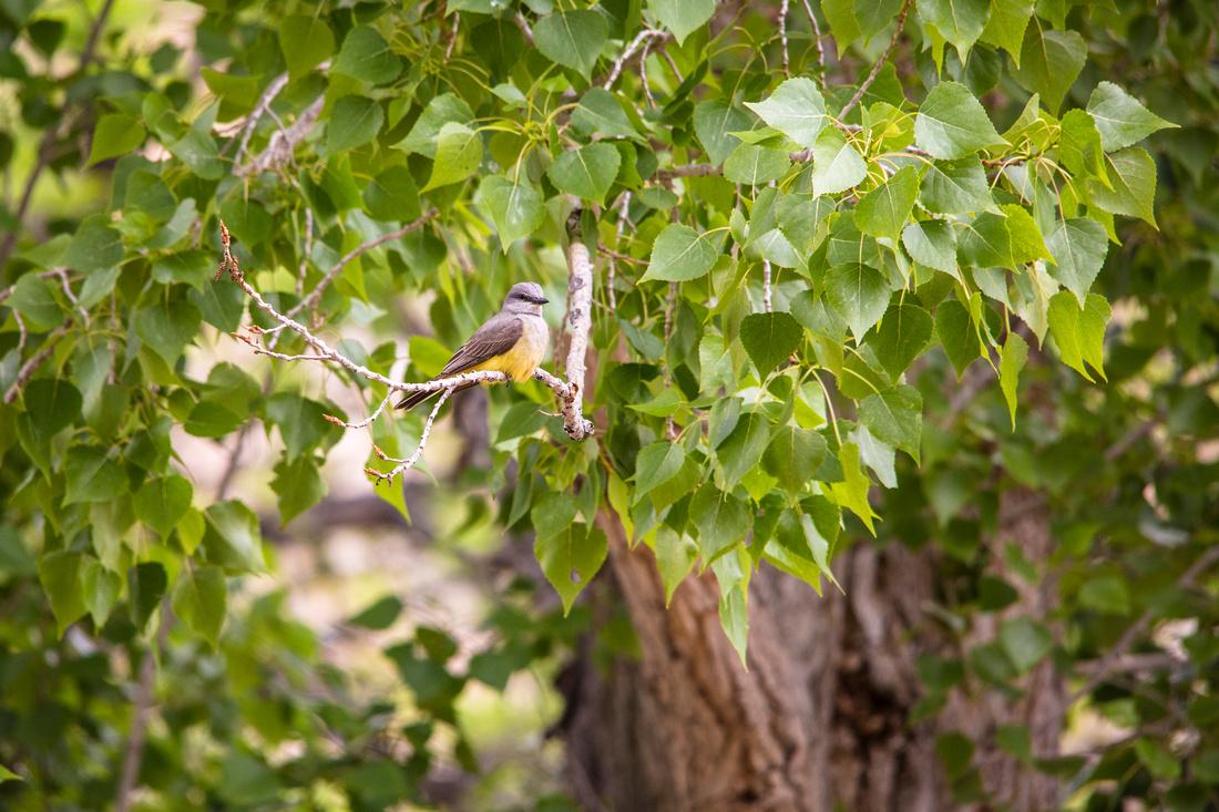 Western Kingbird (3) - Tyrannus verticalis