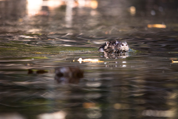 North American River Otter (2) - Lontra canadensis