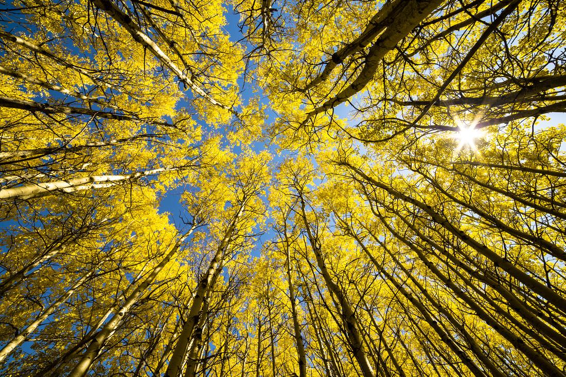 Aspen Grove Sunburst