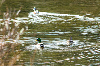Mallards pair and an American Widgeon
