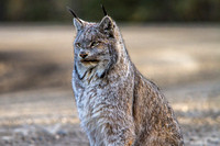 Lynx in the Road (3)