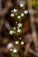 Northern Fairy Candelabra - Androsace septentrionalis