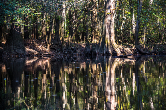 Bald Cypress Reflections (2)