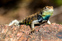 Yellow-backed Spiny Lizard