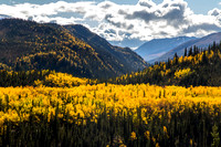 Golden Aspens