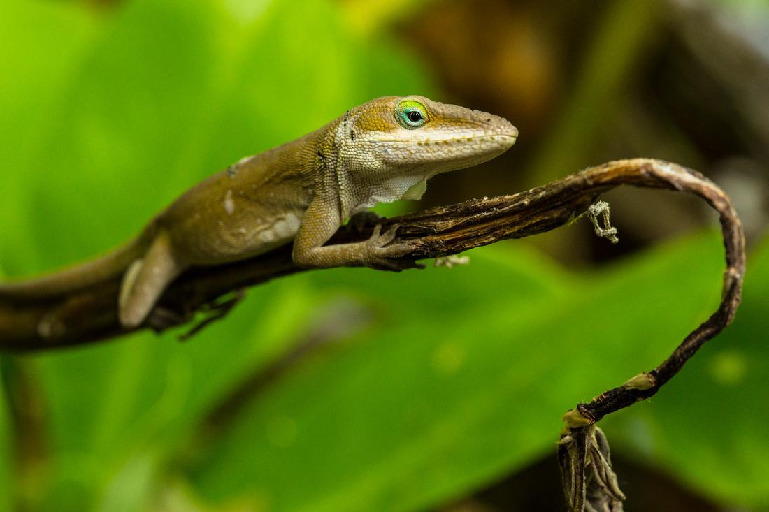 Green Anole - Anole carolinensis