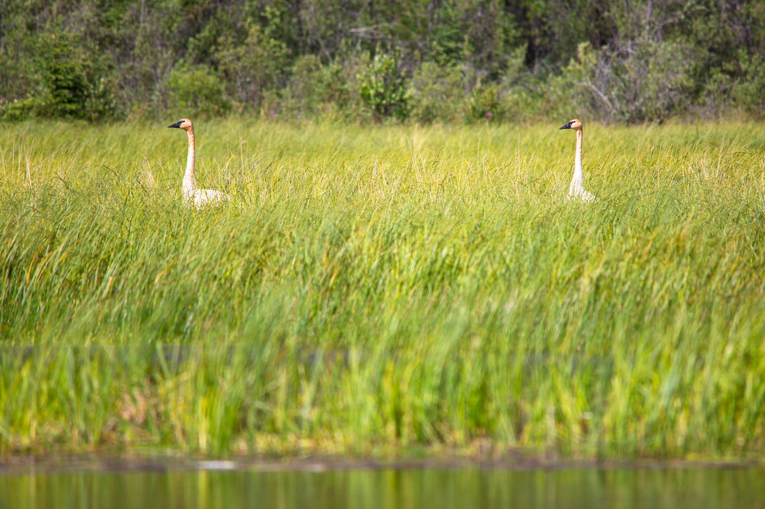Tundra Swans - Cygnus columbianus