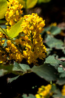 Oregon Grape - Mahonia repens