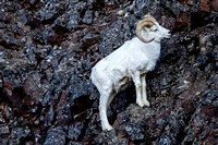 Dall Sheep on a Cliff