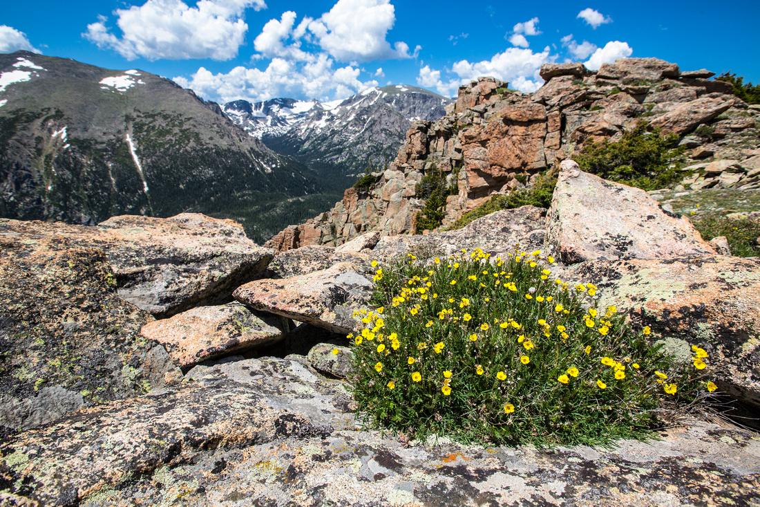 Geum rossii in the Alpine