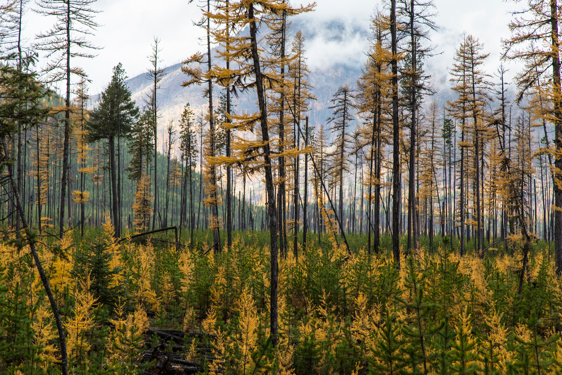 Larch Trees in the North Fork