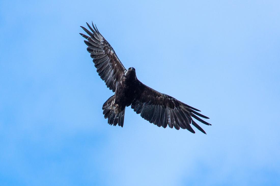 Golden Eagle over Granite Park